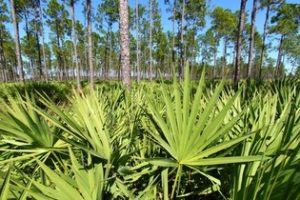 saw palmetto aumenta a potencia sexual